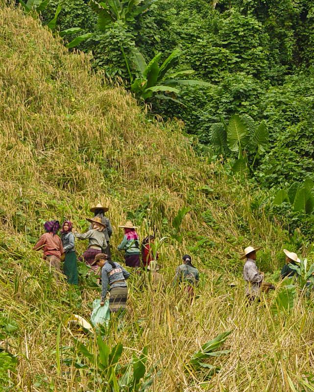 Harvesting upland sticky rice, Ban Goop