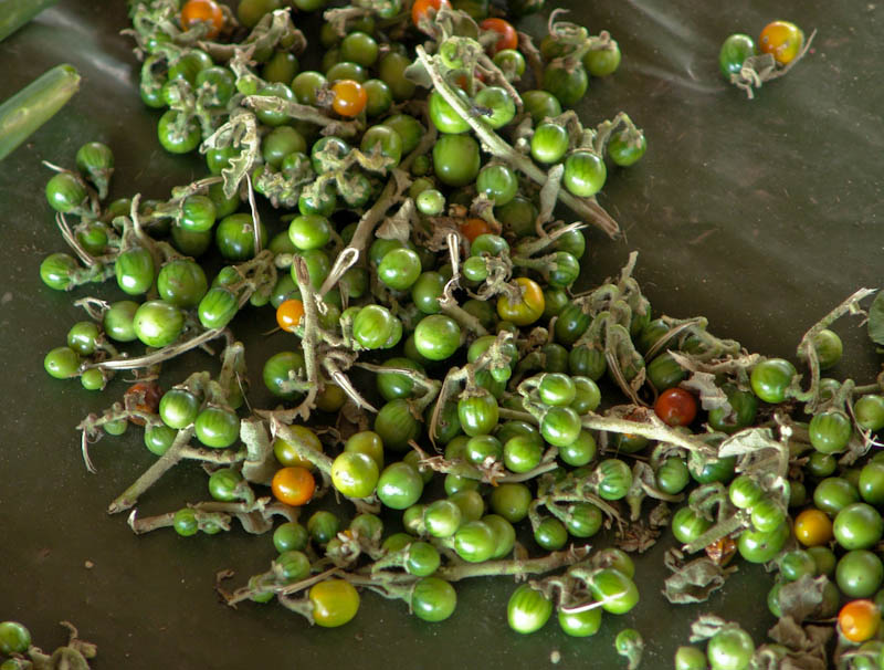 Eggplant berry ໝາກແຄ້ງຂົມ mak keng kom