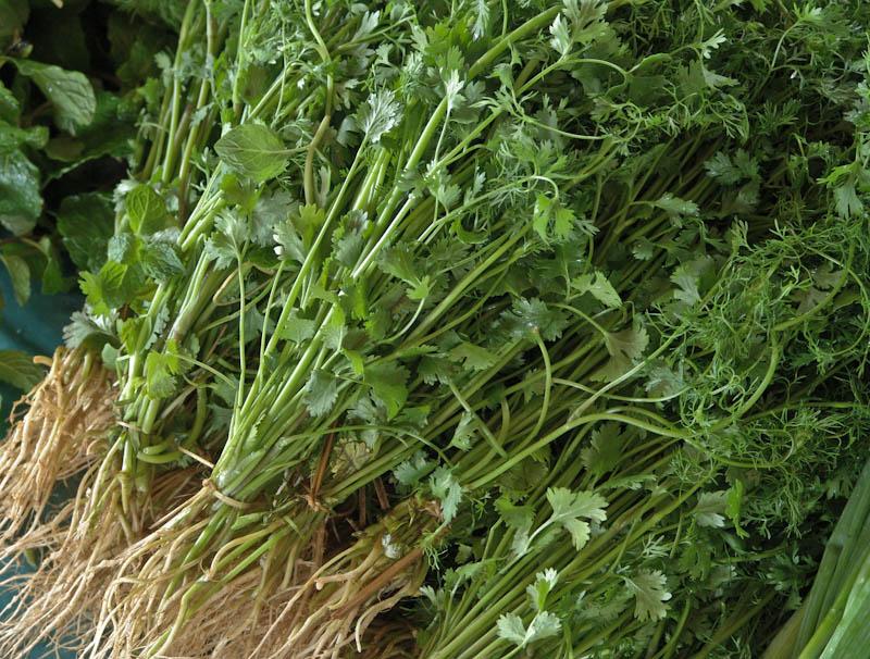 Coriander, cilantro ຜັກຫອມປ້ອມ pak hom pom from Lao seed