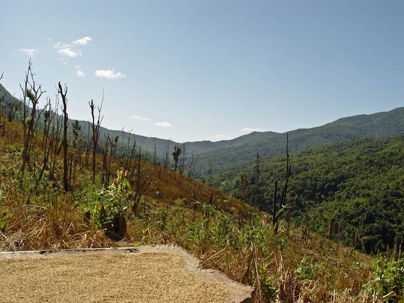 Swidden rice harvest, Ban Goop